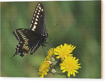 Black Swallowtail Wood Print by Gerald Hiam