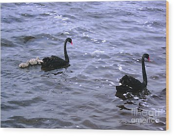 Black Swan Family Wood Print by Cassandra Buckley