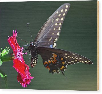 Black Tiger Swallowtail Wood Print by Kathy Eickenberg