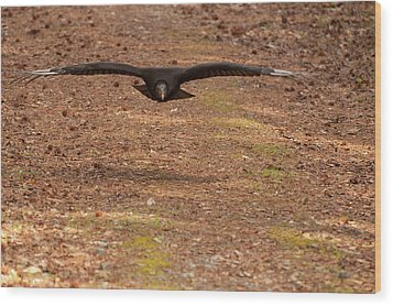 Black Vulture In Flight Wood Print by Chris Flees