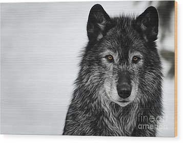 Black Wolf I Wood Print by Brad Allen Fine Art