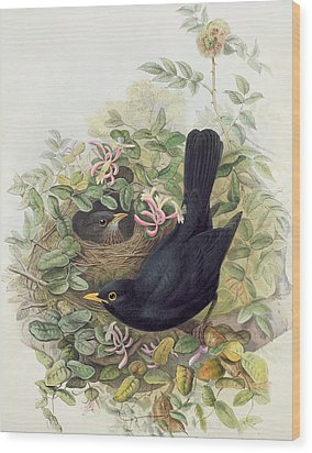 Blackbird,  Wood Print by John Gould
