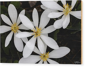 Sanguinaria Wood Print