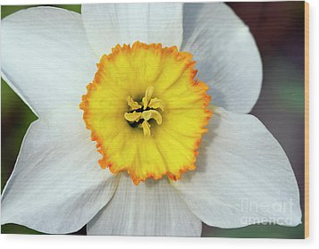Bloom Of Narcissus Wood Print by Michal Boubin