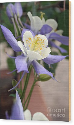 Blooming Columbine Wood Print by Andrew Serff