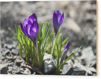 Blooming Crocus #1 Wood Print
