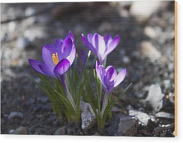 Blooming Crocus #3 Wood Print