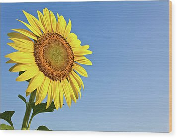 Blooming Sunflower In The Blue Sky Background Wood Print