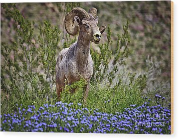 Blooms And Bighorn In Anza Borrego Desert State Park  Wood Print by Sam Antonio Photography