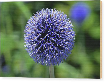 Wood Print featuring the photograph Blue Allium by Terence Davis
