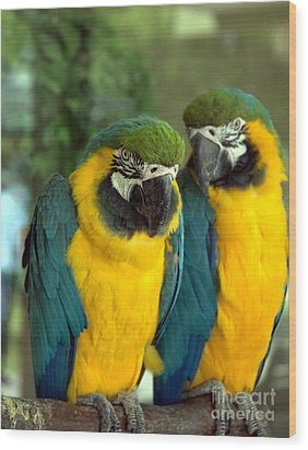 Blue And Gold Macaws Wood Print