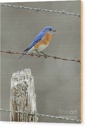 Blue Bird On Barbed Wire Wood Print by Robert Frederick