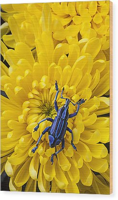 Blue Bug On Yellow Mum Wood Print by Garry Gay