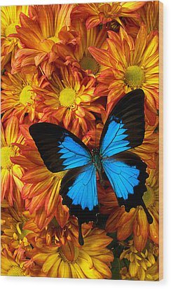 Blue Butterfly On Mums Wood Print by Garry Gay