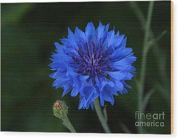Blue Cornflower Wood Print by Marjorie Imbeau