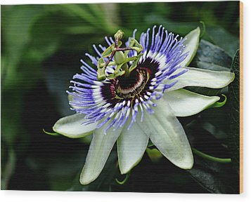 Blue Crown Passion Flower Wood Print by Debbie Oppermann