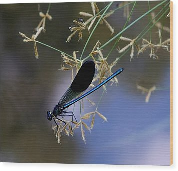 Blue Damsfly Wood Print