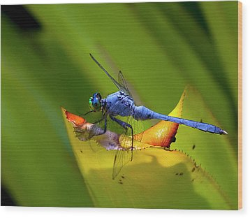 Blue Dasher Dragonfly Wood Print by Sandra Anderson