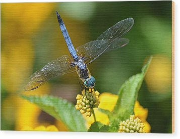 Blue Dasher Wood Print by Kathy Gibbons