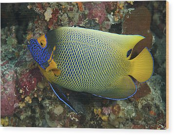 Blue Face Angelfish Wood Print by Steve Rosenberg - Printscapes