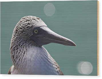 Blue Footed Booby II Wood Print