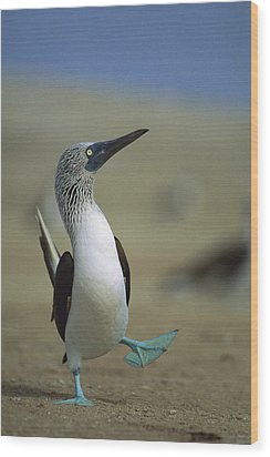 Blue-footed Booby Sula Nebouxii Wood Print