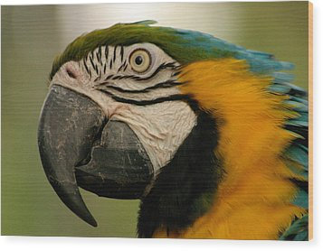 Blue Gold Macaw South America Wood Print by Ralph A  Ledergerber-Photography