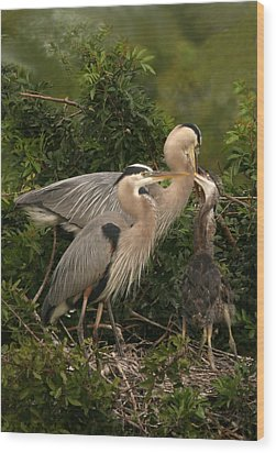 Wood Print featuring the photograph Blue Heron Family by Shari Jardina