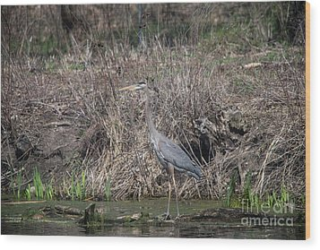 Wood Print featuring the photograph Blue Heron Stalking Dinner by David Bearden