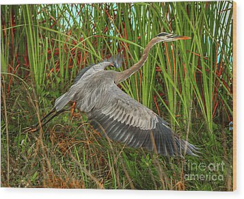 Blue Heron Take-off Wood Print by Tom Claud