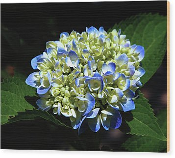 Blue Hydrangea Onstage 2620 H_2 Wood Print
