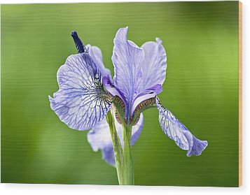 Blue Iris Germanica Wood Print by Frank Tschakert
