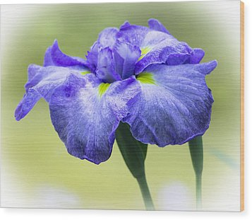 Blue Iris Wood Print by Venetia Featherstone-Witty