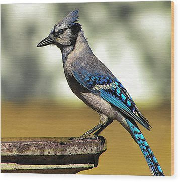 Blue Jay Bath Wood Print