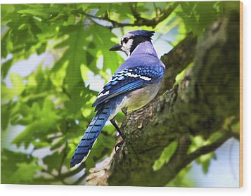 Blue Jay Wood Print by Christina Rollo