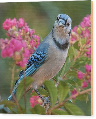 Blue Jay In Crepe Myrtle Wood Print