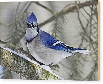 Blue Jay In Winter Wood Print by Rodney Campbell