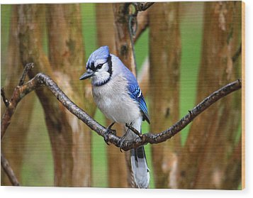 Blue Jay On A Branch Wood Print