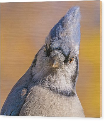 Wood Print featuring the photograph Blue Jay Portrait by Jim Hughes