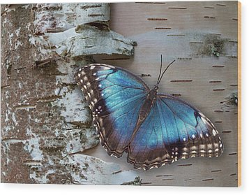 Blue Morpho Butterfly On White Birch Bark Wood Print