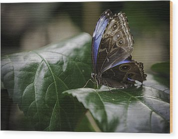 Blue Morpho On A Leaf Wood Print by Jason Moynihan