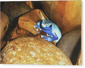 Wood Print featuring the photograph Blue Poison Dart Frog by Anthony Jones