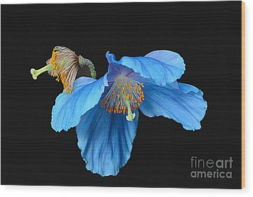 Blue Poppies Wood Print by Cindy Manero