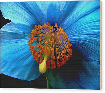 Blue Poppy II - Closeup Wood Print by Robert Nankervis