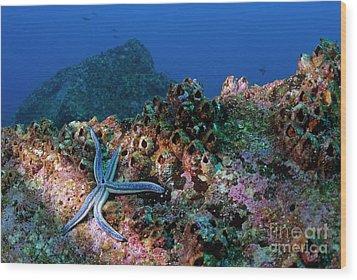 Blue Starfish On Rock Wood Print by Sami Sarkis