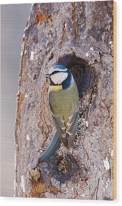 Blue Tit Leaving Nest Wood Print by Cliff Norton