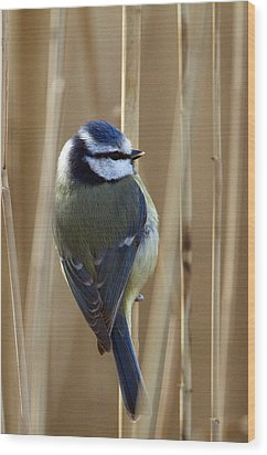 Blue Tit On Reed Wood Print