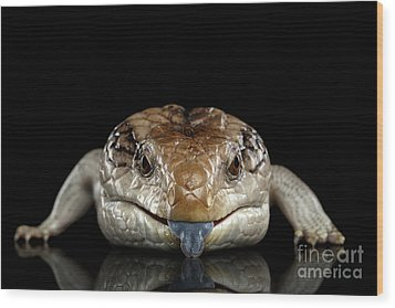 Blue-tongued Skink Wood Print