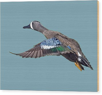 Blue-winged Teal Wood Print by Larry Linton