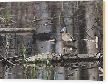 Blue Winged Teals Wood Print by Dave Clark